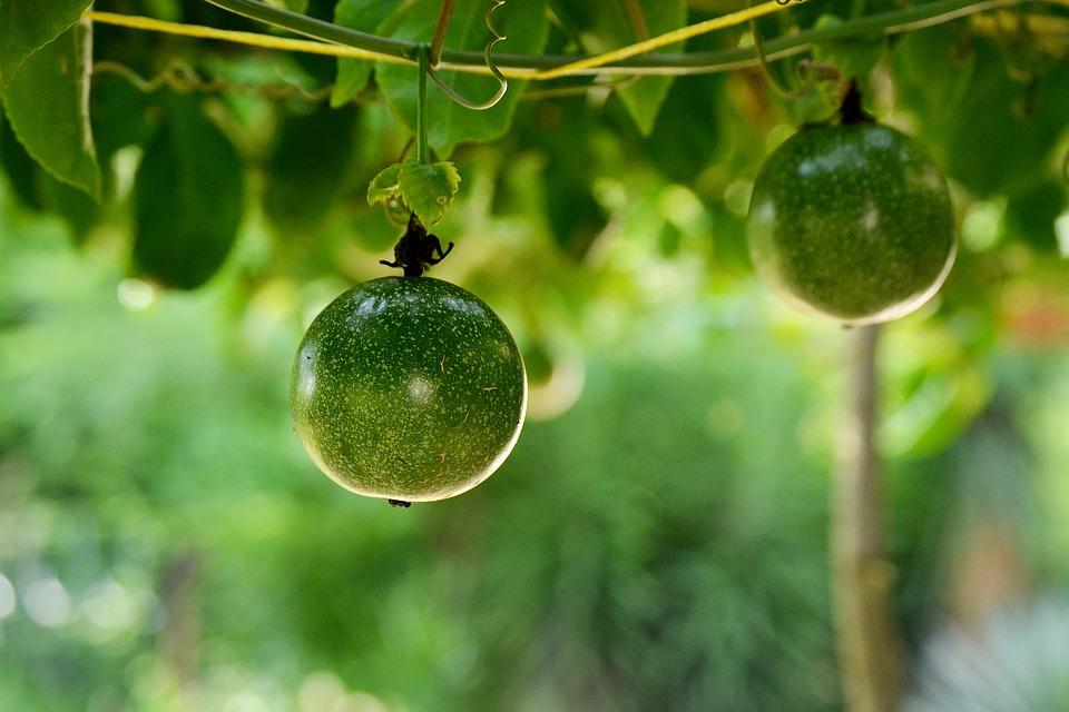 fruta de la pasión o maracuyá